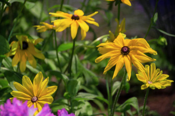 Photograph - Garden Of Blackesyed Susans by Bill Cannon