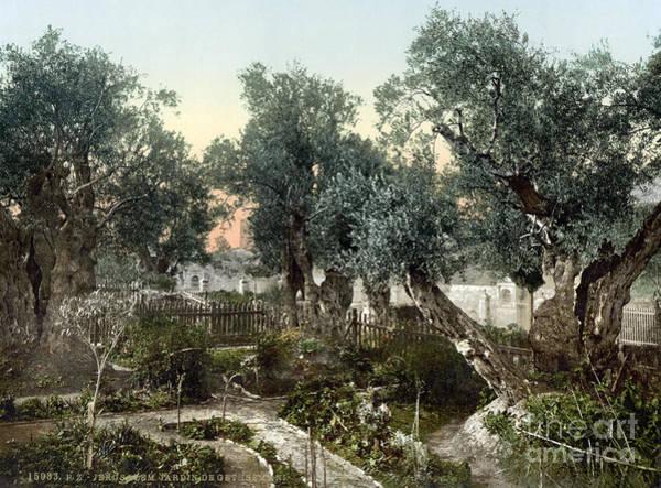 Photograph - Garden Of Gethsemane by Granger