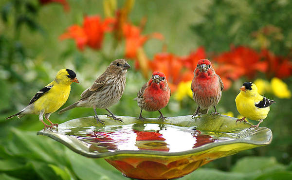 House Finch Photograph - Garden Party by Bill Pevlor