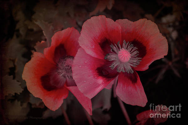Photograph - Garden Poppies by Elaine Teague
