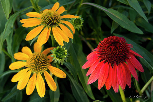 Photograph - Garden Sisters Cone Flowers   by Reid Callaway