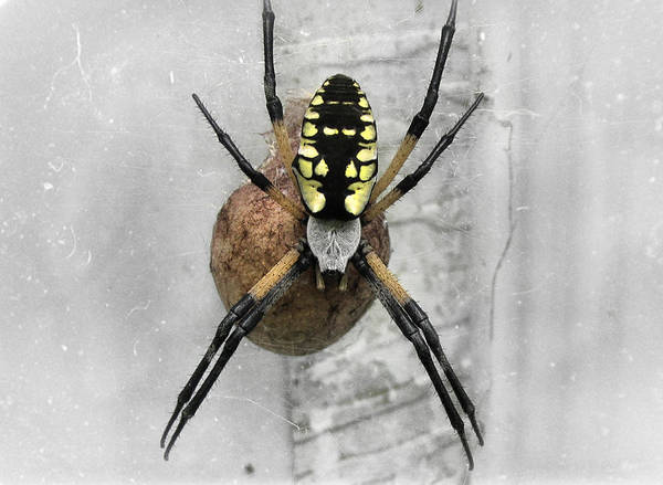 Photograph - Garden Spider by Amber Flowers