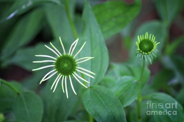 Photograph - Garden Stars by Karen Adams