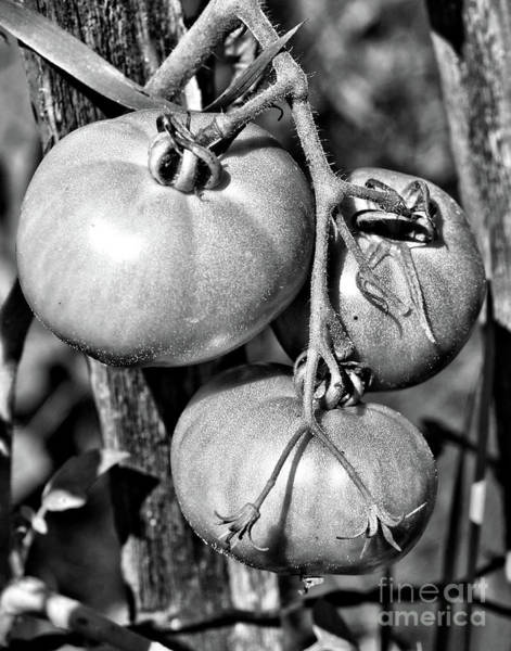 Photograph - Garden Tomatoes In Black And White by Smilin Eyes  Treasures