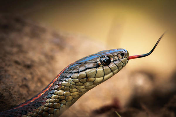 Photograph - Garter Snake And Tongue by Robert Potts