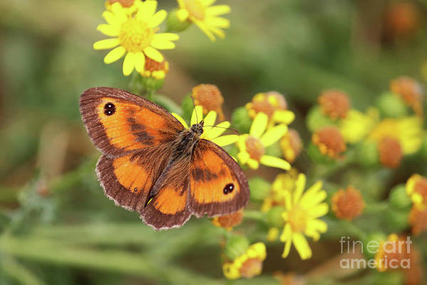 Photograph - Gatekeeper Butterfly by Julia Gavin
