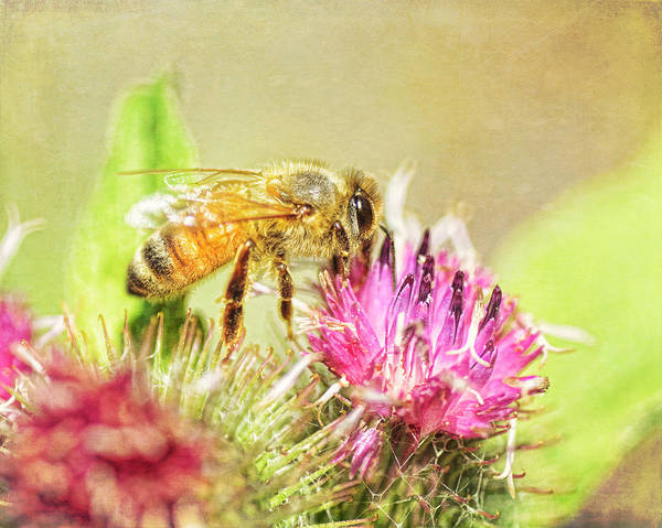Honeybees Wall Art - Photograph - Gathering Pollen by Susan Capuano