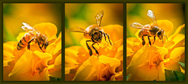 Honeybees Wall Art - Photograph - Gathering Pollen Triptych by Bob Orsillo