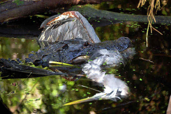 Wall Art - Photograph - Gator 1 - Heron 0 by Rich Leighton