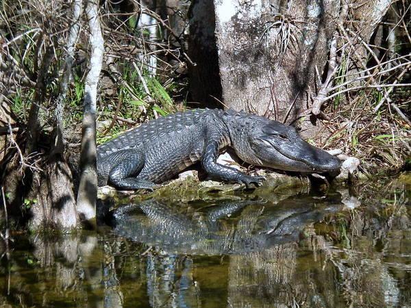 Alligator Alley Photograph - Gator Alley Gator by Wayne Skeen