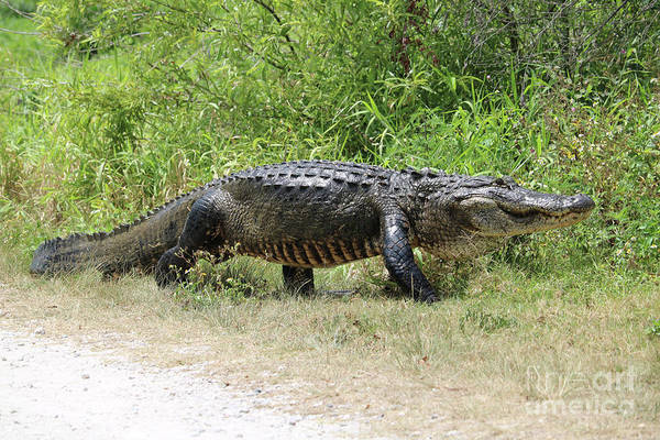 Photograph - Gator Crossing by Carol Groenen