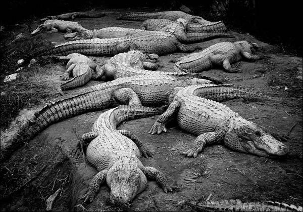 Gator Photograph - Gator Gang by Shane Rees