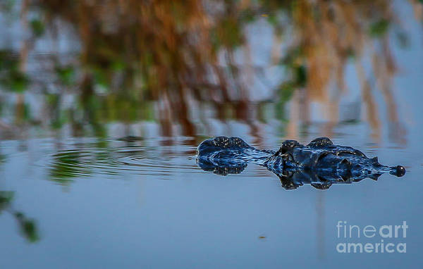 Photograph - Gator In Water by Tom Claud