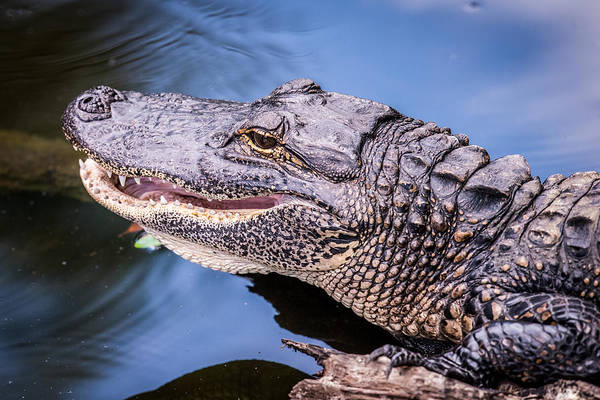 Lurking Photograph - Gator by Paul Freidlund