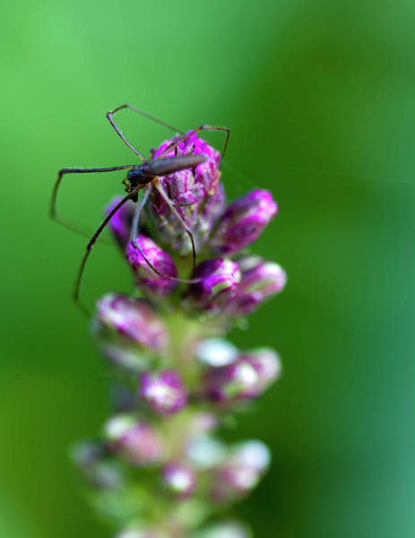 Liatris Spicata Photograph - Gay Feather And Spider by Kathy Clark