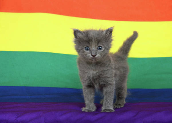 Gay Pride Flag Photograph - Gay Pride Grey Kitten by Sheila Fitzgerald