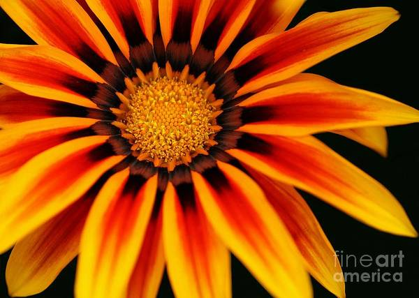 Florida Flora Photograph - Gazania L by Sabrina L Ryan