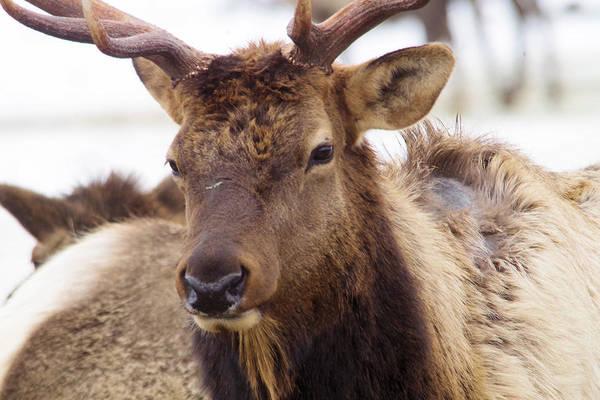 Elk Herd Photograph - Gaze From A Bull Elk by Jeff Swan
