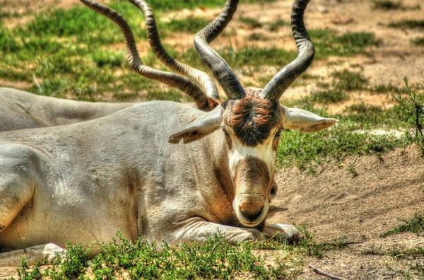 Photograph - Gazelle by Sam Davis Johnson