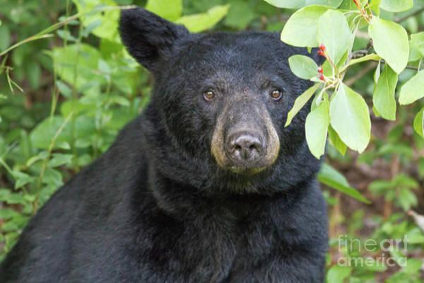 Photograph - Gazing Black Bear by David Cutts