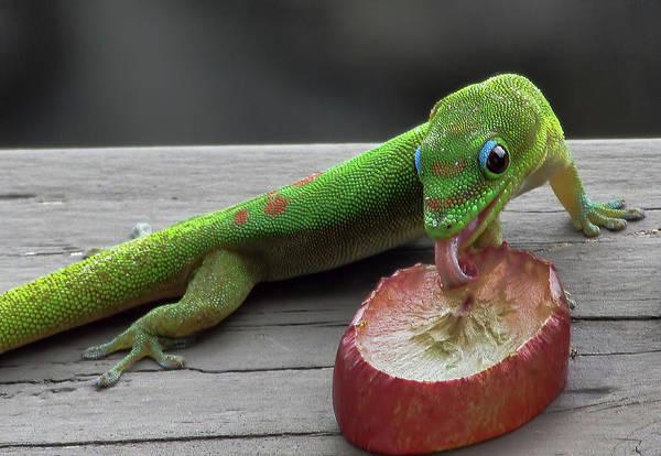 Photograph - Gecko Eating by Pamela Walton
