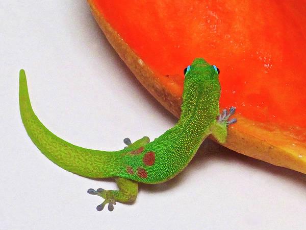 Photograph - Gecko Eating Papaya by Bette Phelan