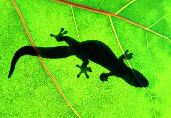 Photograph - Green Gecko by Sean Davey