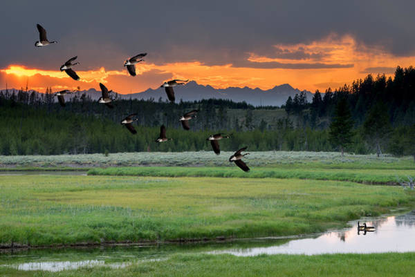 Photograph - Geese Along The Madison River by TL Mair