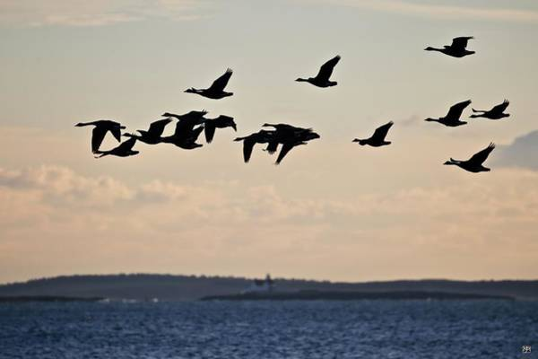 Photograph - Geese And Cuckholds by John Meader