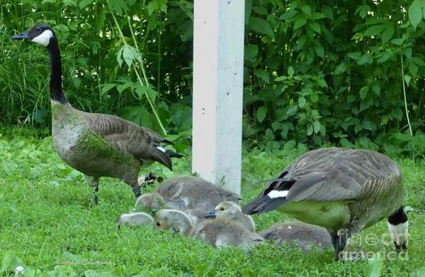 Photograph - Geese And Goslings by Kathie Chicoine