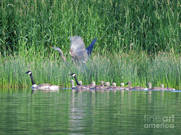 Photograph - Geese And Heron by Cindy Murphy - NightVisions