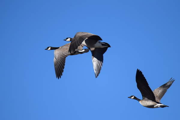 Digital Art - Canadian Geese In Flight by Margarethe Binkley