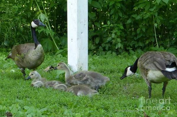 Photograph - Geese At Crabtree by Kathie Chicoine