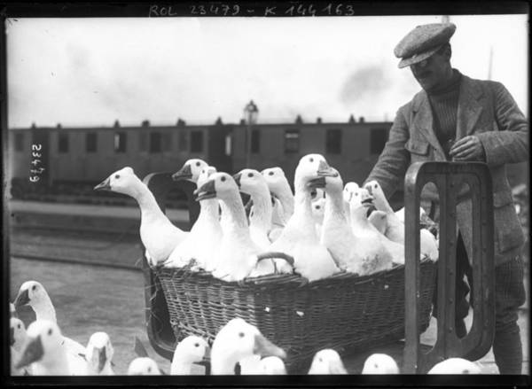 White Goose Drawing - geese basket poster art wall - photo geese poster, man geese photography restored - Restored photo - by Art Makes Happy