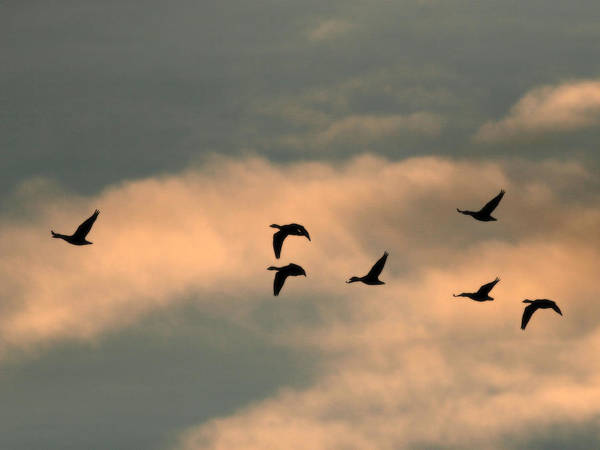 Photograph - Geese  by Charles McKelroy