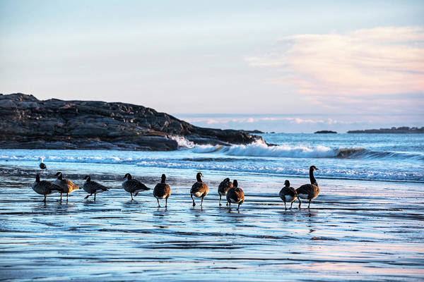 Photograph - Geese Congregating On Preston Beach Marblehead Massachusetts Sunrise by Toby McGuire