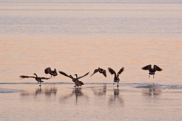 Wall Art - Photograph - Geese Evening Dance by Catherine Lau