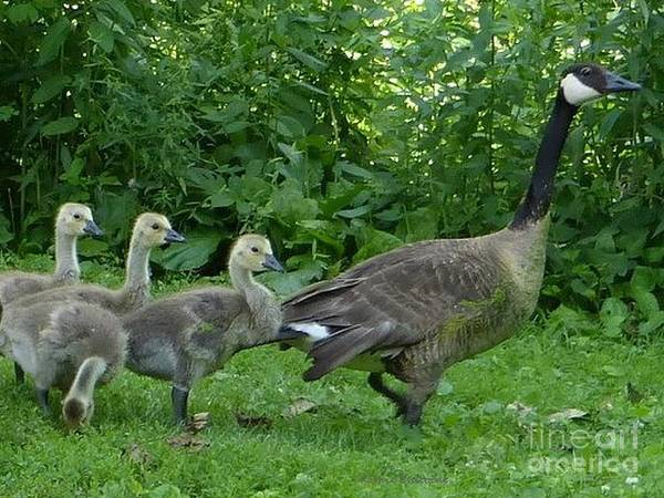 Photograph - Geese Family by Kathie Chicoine