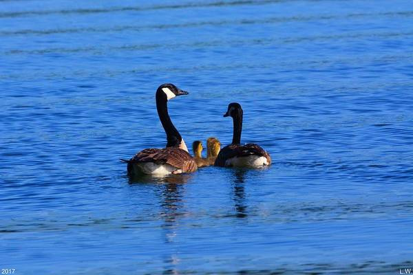 Gander Photograph - Geese Family by Lisa Wooten