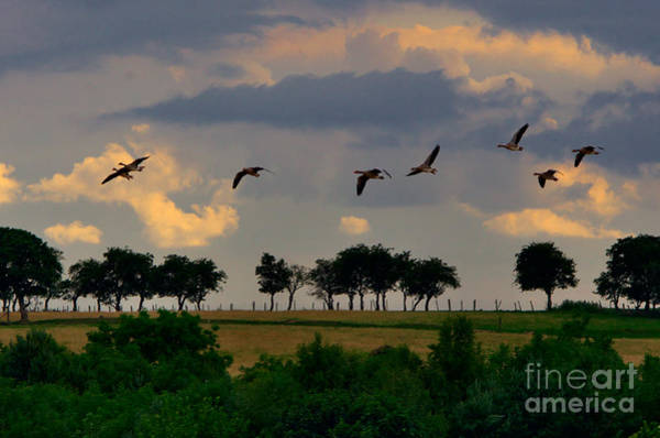 Photograph - Geese Heading For Home by Martyn Arnold