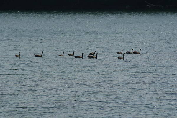 Wall Art - Photograph - Geese by Heather Green