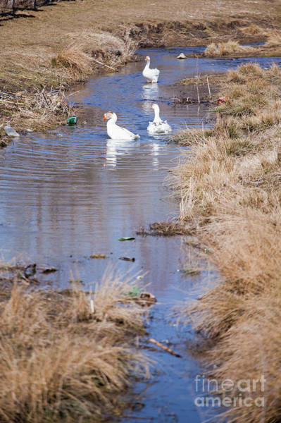 Village Creek Photograph - Geese In Dirty Water by Gabriela Insuratelu