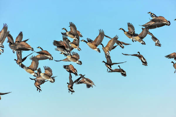 Photograph - Geese In Flight by Patrick Wolf