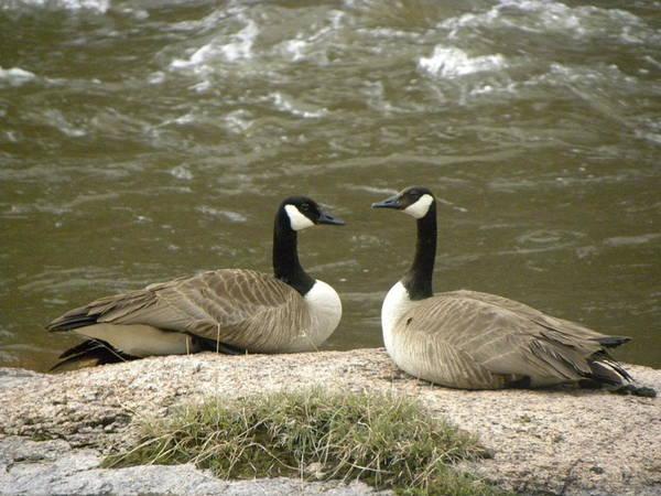Photograph - Geese Platt River Deckers Co by Margarethe Binkley