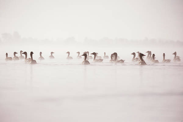 Wall Art - Photograph - Geese In The Mist by Roeselien Raimond