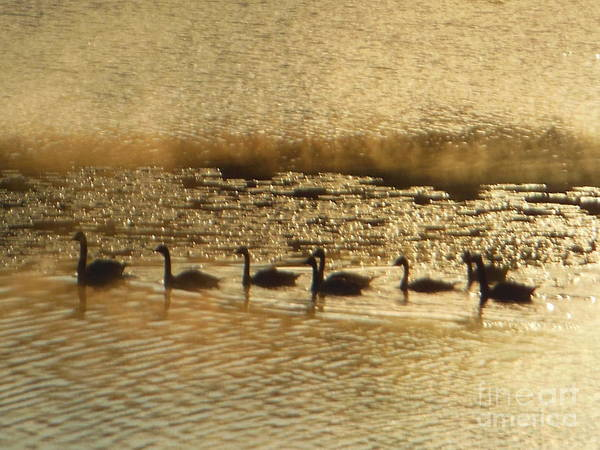 Photograph - Geese On Golden Pond by Rockin Docks Deluxephotos