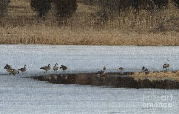 Photograph - Geese On The Ice by Kathie Chicoine