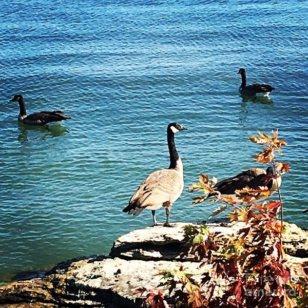 Photograph - Geese On The Lake by The Art of Alice Terrill