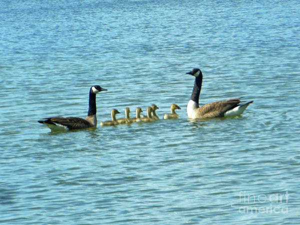 Photograph - Geese Proud Parents by Rockin Docks Deluxephotos