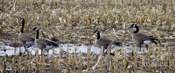 Photograph - Geese Up Close by Donna L Munro